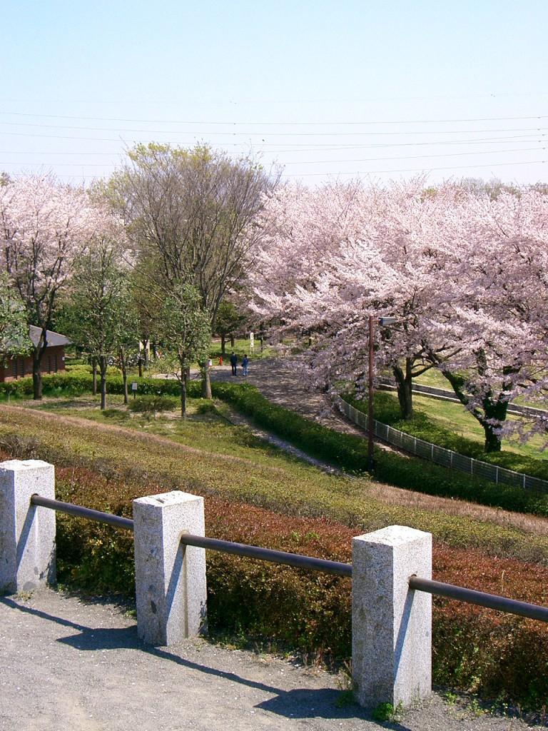秋留台公園 桜